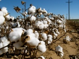 Organic cotton is on the rise
